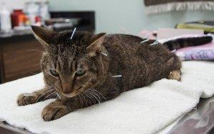 acupuncture cat